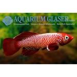 Bubba's Fishs Nothobranchius eggersi
