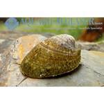 Bubba's Snail Septaria porcellana