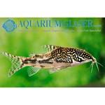 Bubba's Fishs Scleromystax barbatus (Corydoras barbatus) 3cm