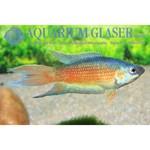 Bubba's Fishs Macropodus opercularis