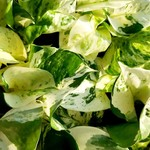 NLS Pothos - Epipremnum Happy leaf