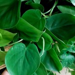 NLS Philodendron hederaceum - Heart Leaf