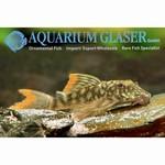 Bubba's Fishs L106 Peckoltia sp. Orange-seam