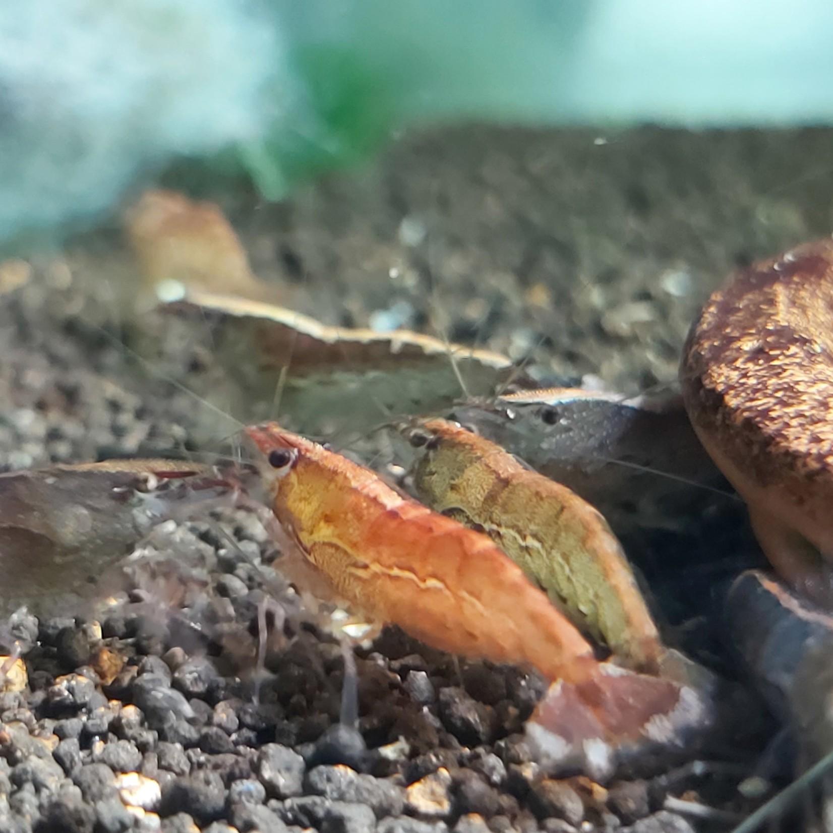 Bubba's Shrimps Caridina sp. Berg
