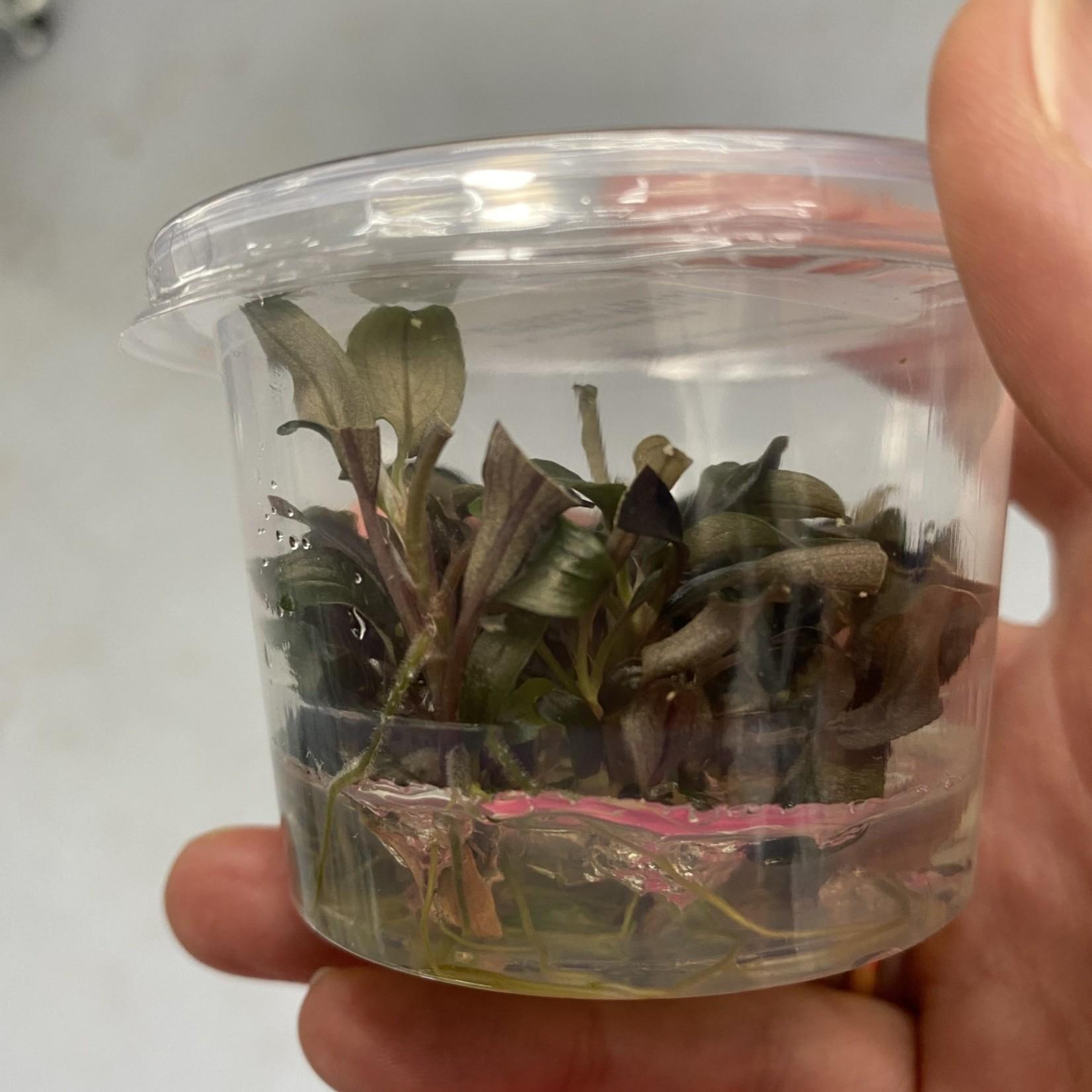 Bucephalandra Bucephalandra sp. Rood