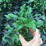 Bubba's Plants Cryptocoryne lutea
