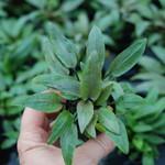 Bubba's Plants Cryptocoryne undulata