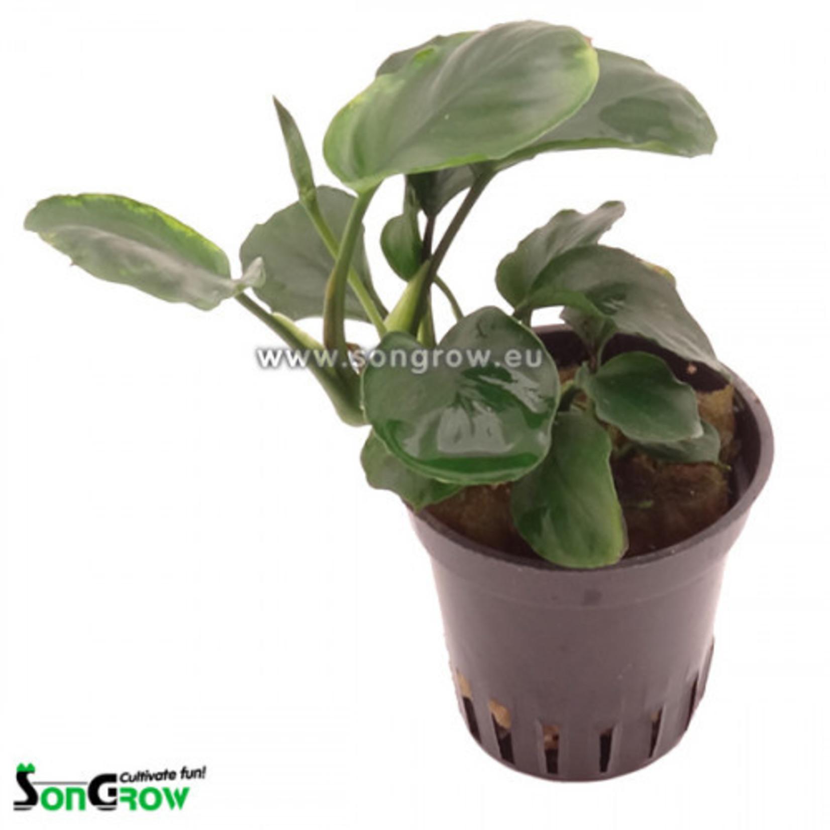 "Bubba's Plants Anubias barteri sp. ""Muntblad"""