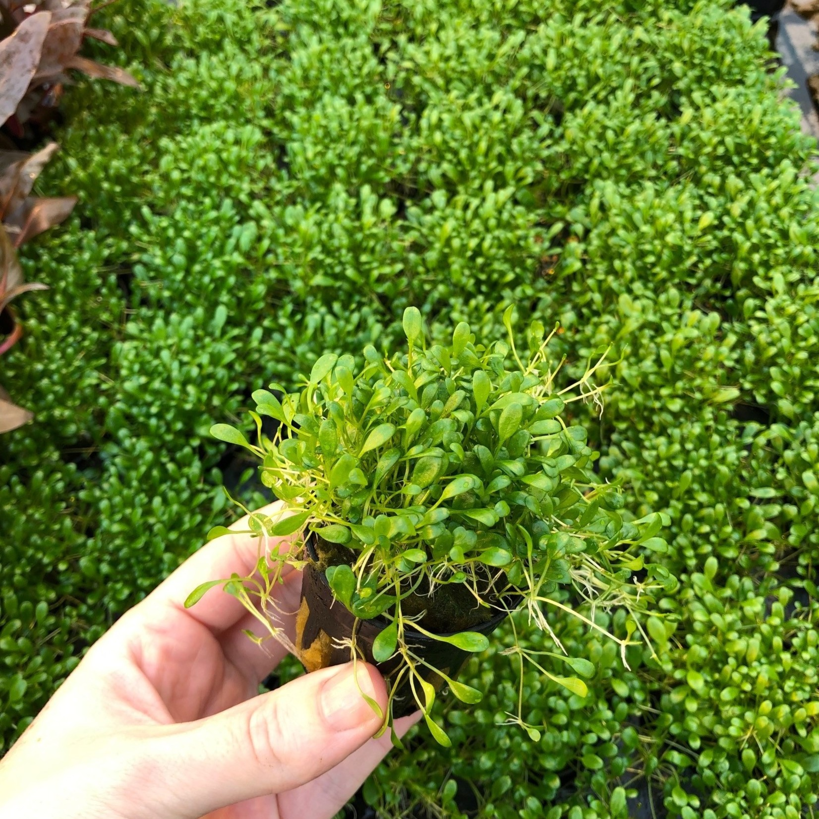 Bubba's Plants Glossostigma elatinoides