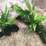 Bubba's Plants Microsorum op wortel