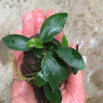 Bubba's Plants Anubias mix on root