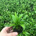Bubba's Plants Echino magdalensis