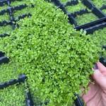 Epaqmat Micranthemum umbrosum carpet