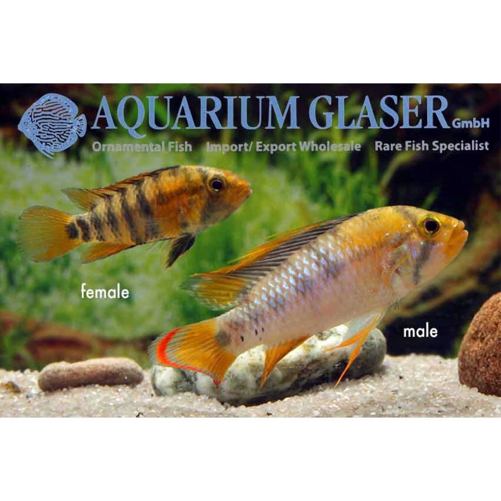 Bubba's Fishs Apistogramma Baenschi - Inka I