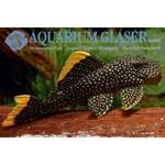 Bubba's Fishs L18 Baryancistrus sp. Golden-Nugget