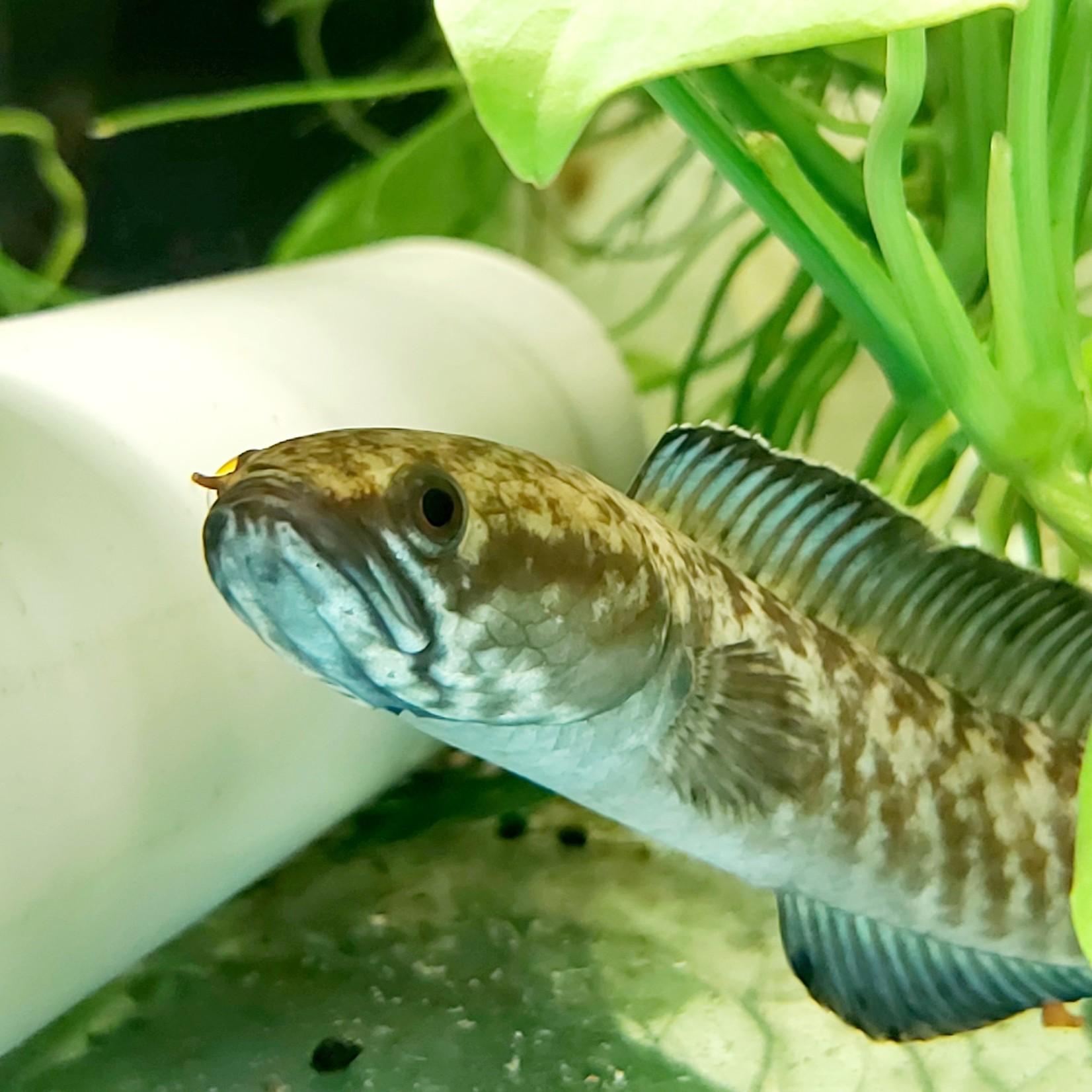 Bubba's Fishs Channa andrao 5-7cm