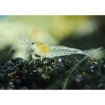 Bubba's Shrimps Witte parel / sneeuwbal