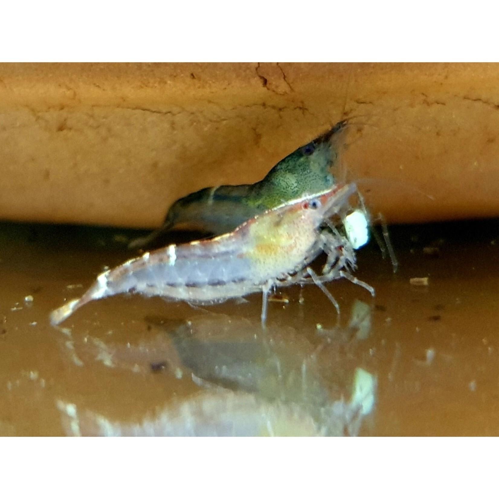 "Bubba's Shrimps Caridina cf. babaulti ""Malaya"""