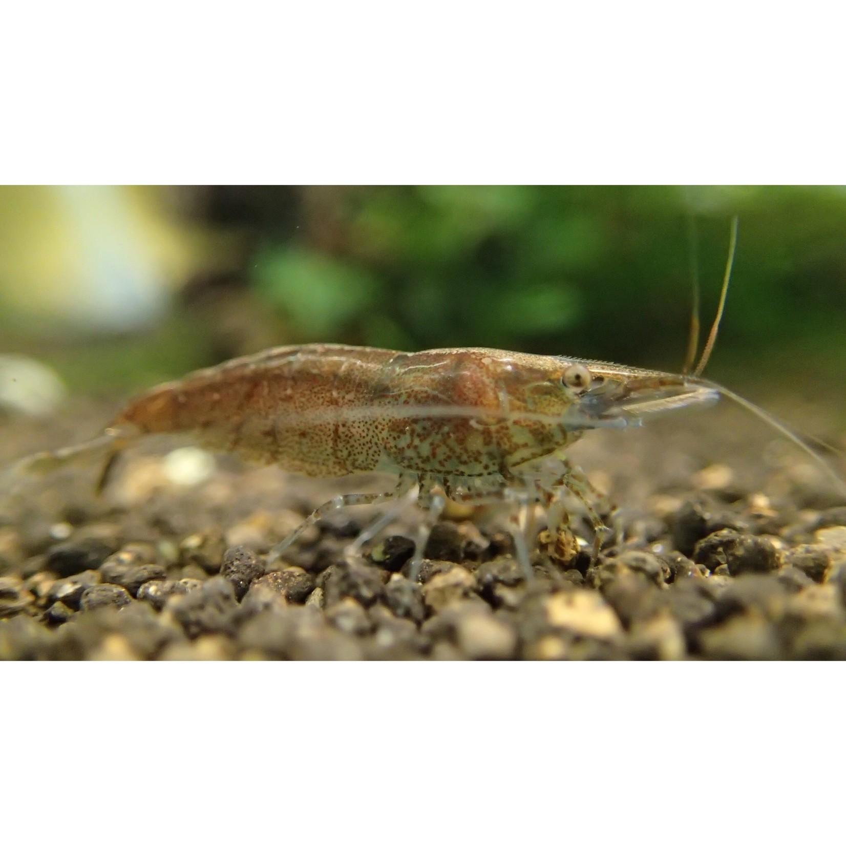 """Bubba's Shrimps Caridina vgl. serrata """"Tupfel"""""""
