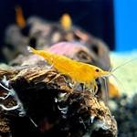 Bubba's Shrimps Sunkist Orange