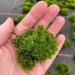 Mousse Mini Coral Moss