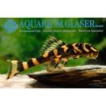 Bubba's Fishs L168 dekeyseria brachyura (Zonancistrus)