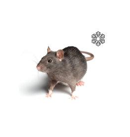 Kiezenbrink Weaner Ratten (5 stuks)