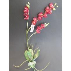 orchidee phalaenopsis rood