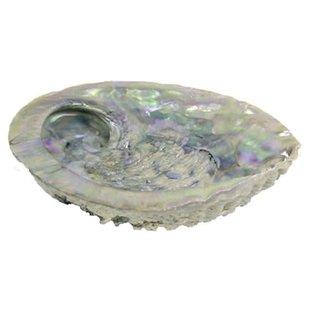 Smudge abalone schelp 11-15 cm