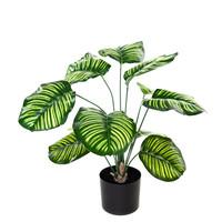 Calathea Kunst Calathea Orbifolia Pauwenplant 60 cm