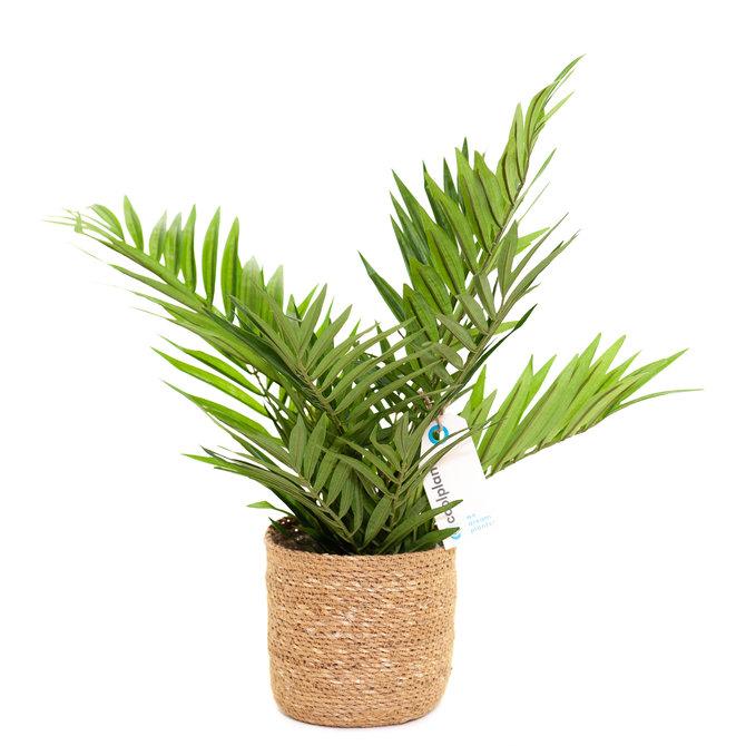 Palm Kunst Palm Parlour 50cm