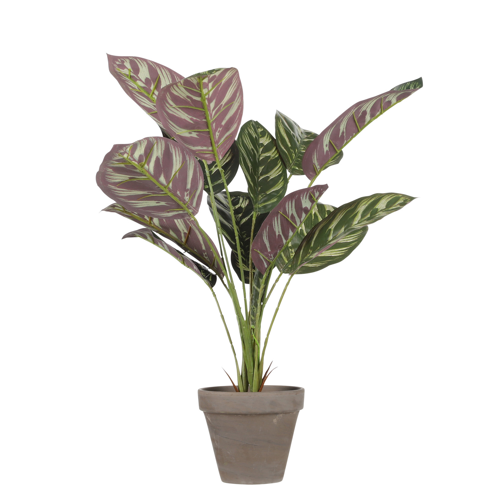 MiCa Calathea bordeaux in pot Stan grey