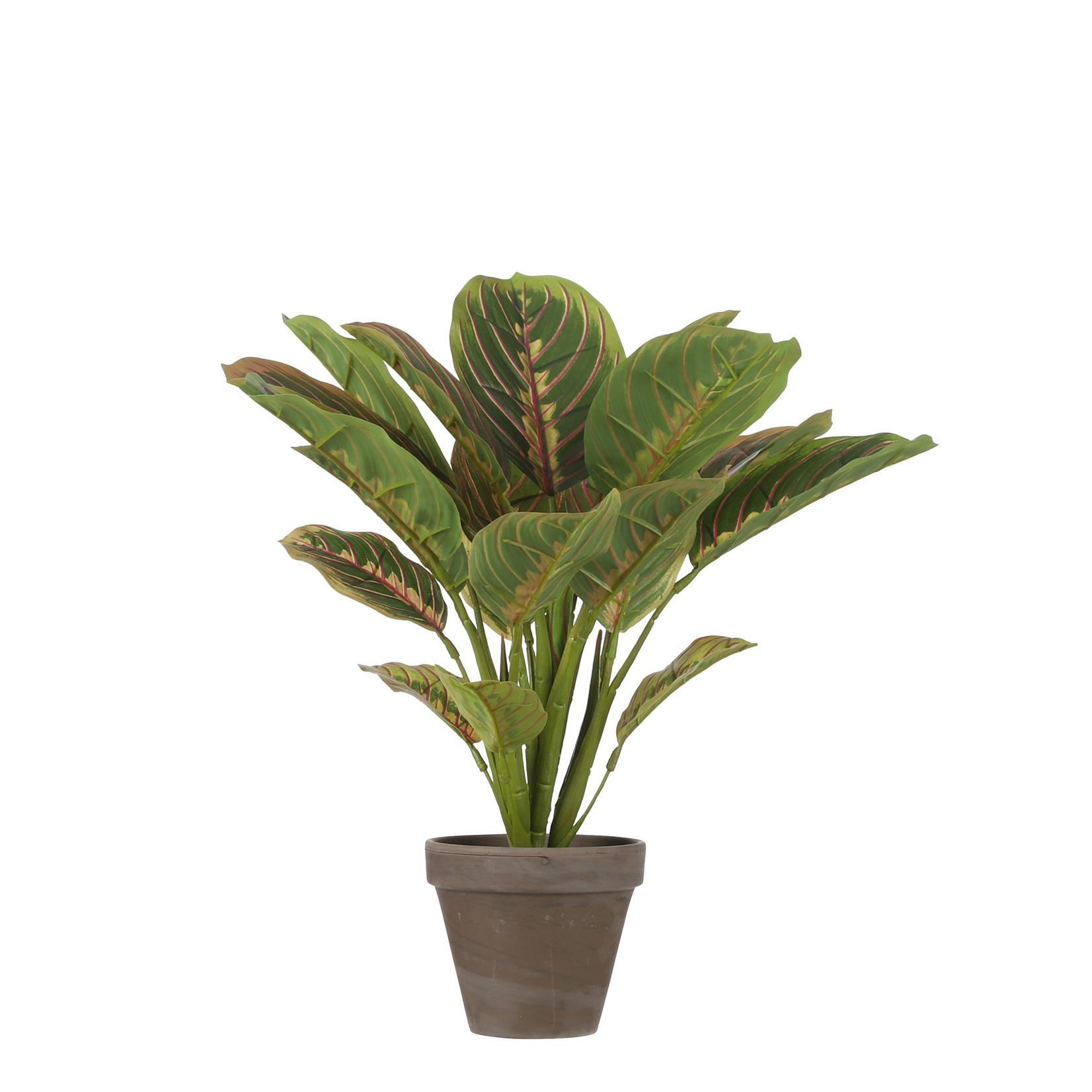 MiCa Calathea d.groen in pot Stan grey d11,5cm