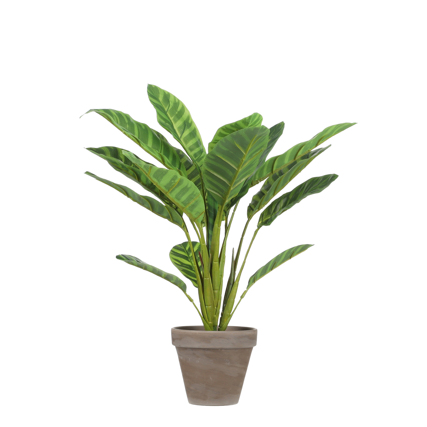 MiCa Calathea l.groen in pot Stan grey d11,5cm