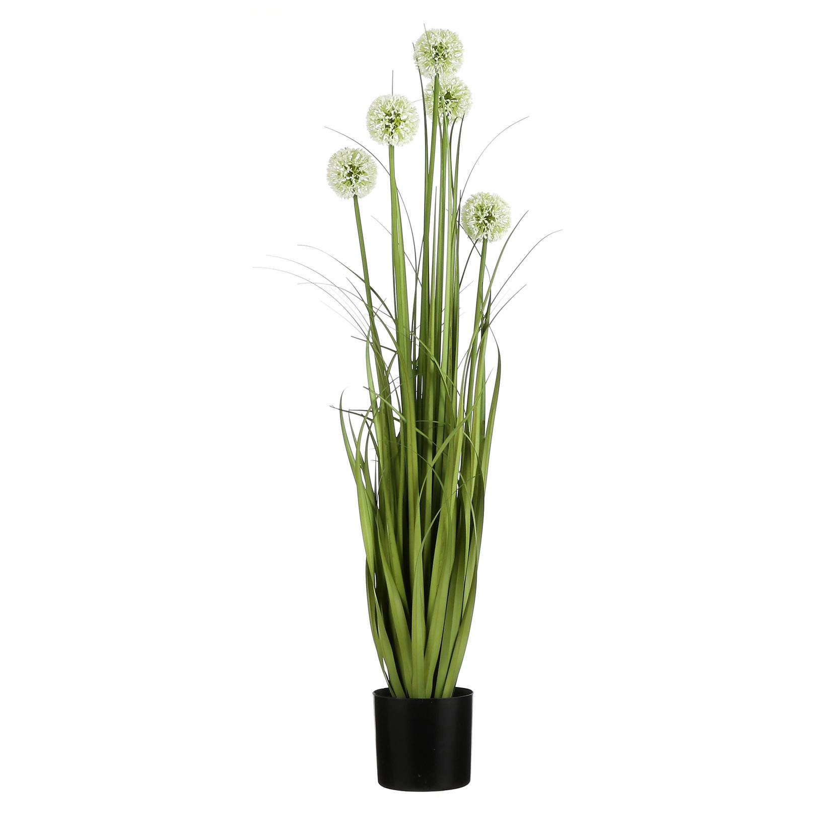 MiCa Allium in plastic pot wit