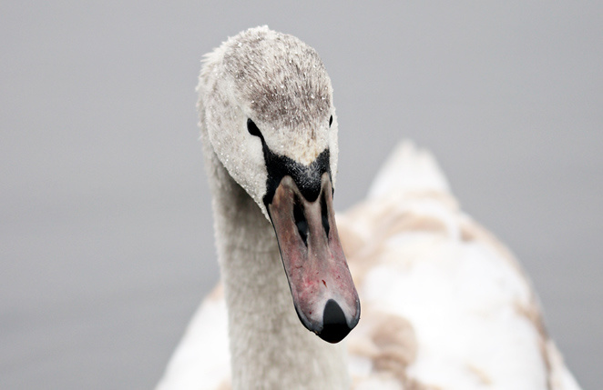 Swan :-)