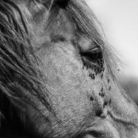 Waarom paarden niet van vliegen houden en vliegen wel van paarden