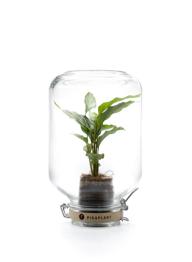 """Pikaplant Jar """"Calathea"""""""