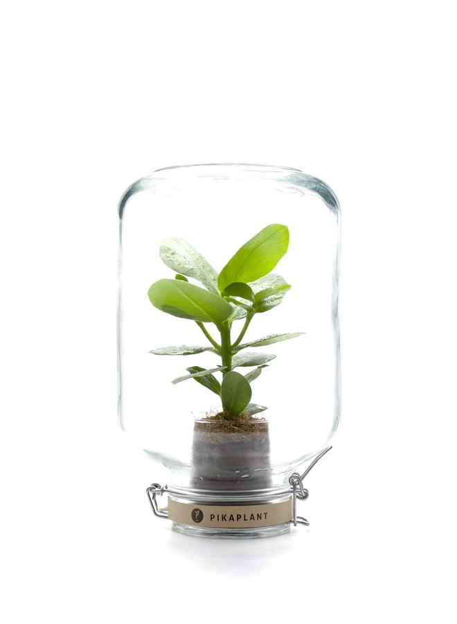 "Pikaplant Jar ""Clusia"""