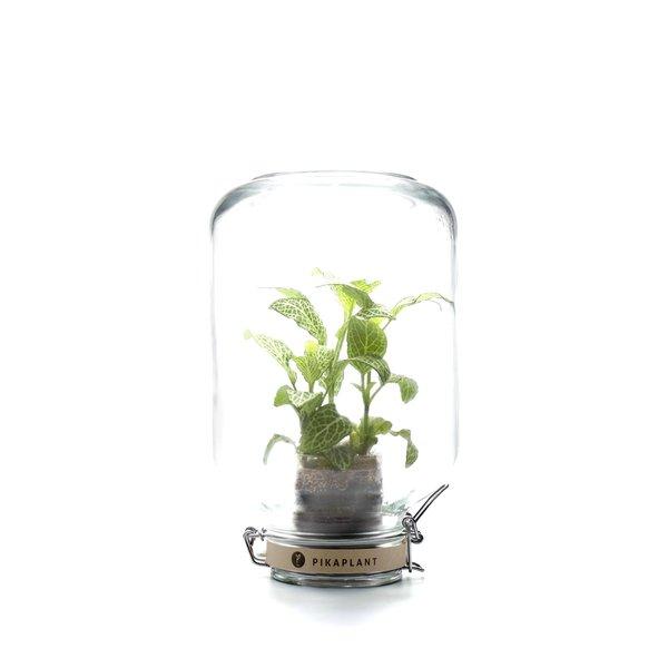"""Pikaplant Pikaplant Jar """"Fittonia"""""""