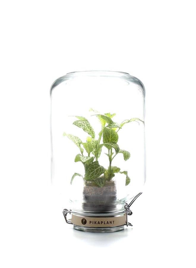 """Pikaplant Jar """"Fittonia"""""""