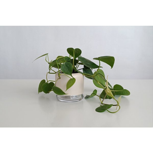 Pikaplant Pikaplant Geo H2O + Philodendron