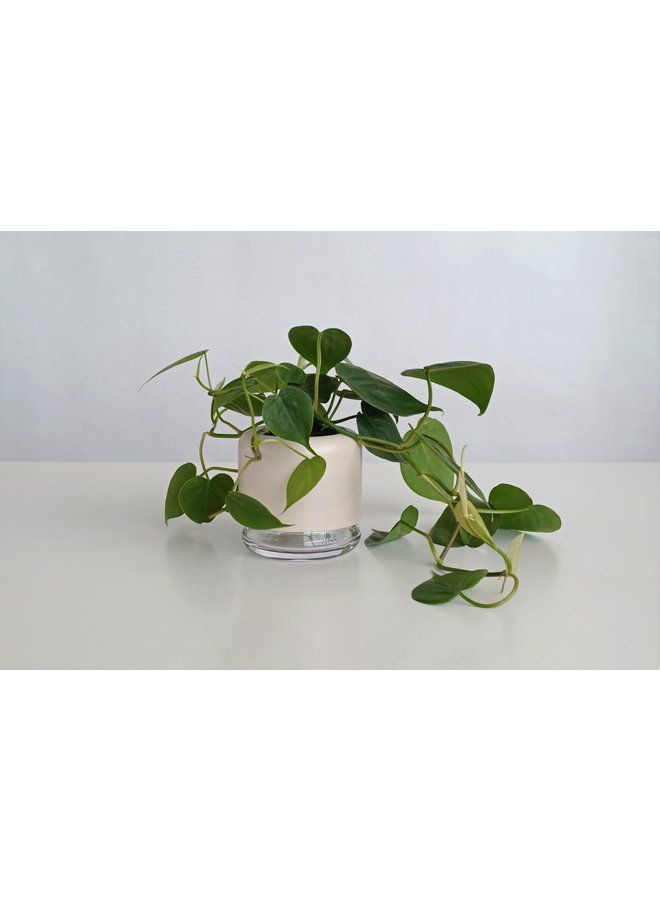 Pikaplant Geo H2O + Philodendron