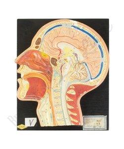 Anatomisch model hoofd Nr. 1