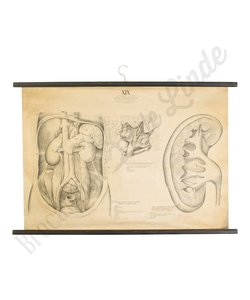 Anatomische schoolplaat 1930 organen