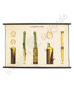 Botanische schoolplaat enten No. 6