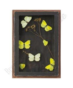 Vlinderlijst met citroenvlinders - No. 21