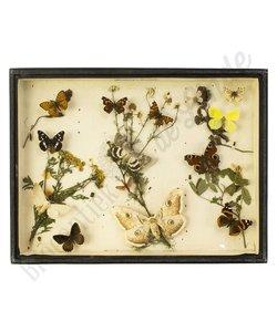 Vlinderlijst Europese vlinders  No. 14