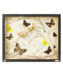 Vlinderlijst Europese vlinders No. 46
