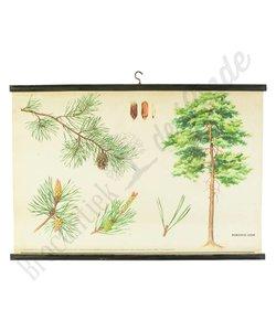 Botanische schoolplaat de grove dennenboom